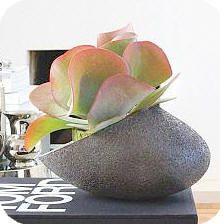 Kalanchoe thyrsiflora of de woestijnroos: een mooie en onderhoudsvriendelijke kamerplant