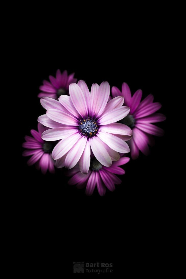 Pink Flower Hd Wallpaper Flower Background Wallpaper Flower Iphone Wallpaper Beautiful Flowers Wallpapers