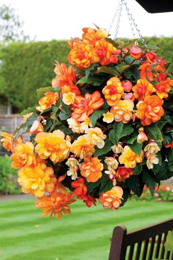 Begonia Care What The Beautiful Begonias Need To Thrive Well Beautiful Begonia Begonias Thrive Garden Design Begonia Colorful Garden