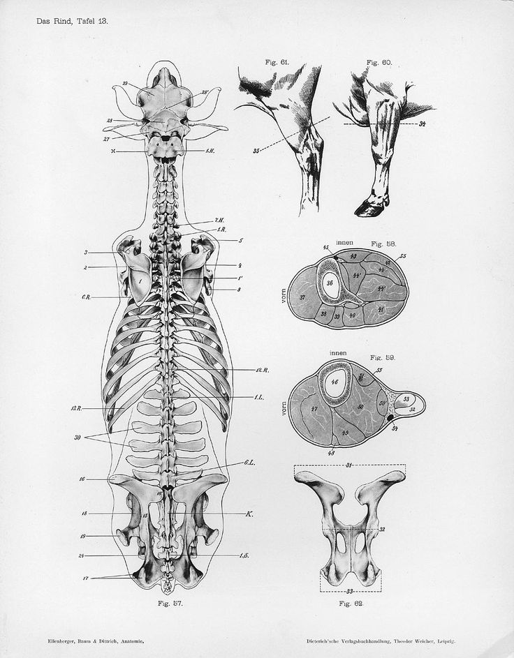 http://upload.wikimedia.org/wikipedia/commons/7/7f/Cow_anatomy_dorsal_skeleton.jpg