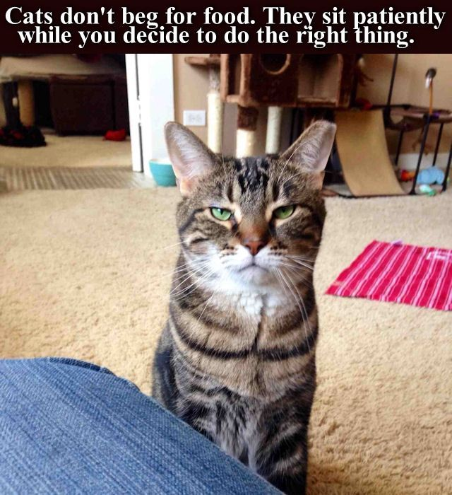 Cats Don't Beg For Food cute animals cat cats adorable animal kittens pets kitten funny pictures funny animals funny cats