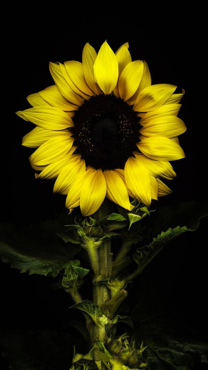 Download Sunflower Wallpaper By Shaan123rocky 82 Free On Zedge Now Browse Millions Of P In 2021 Sunflower Pictures Sunflower Iphone Wallpaper Sunflower Wallpaper