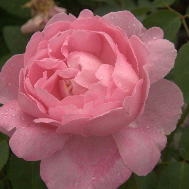 Rosa Mary Rose Ausmary - Rose anglaise David Austin aux fleurs rose pur, doubles et parfumées.