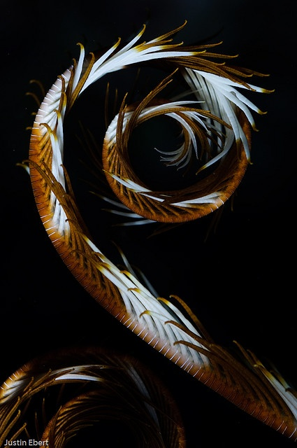 Fractal spiral form - A feather star (crinoid) curled into a beautiful pattern