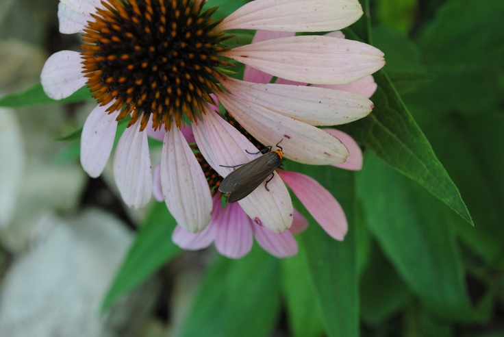 Coneflower - test of new camera, Nikon D-3000