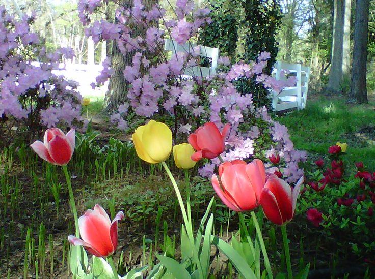 April 2012 Azaleas and Tulips