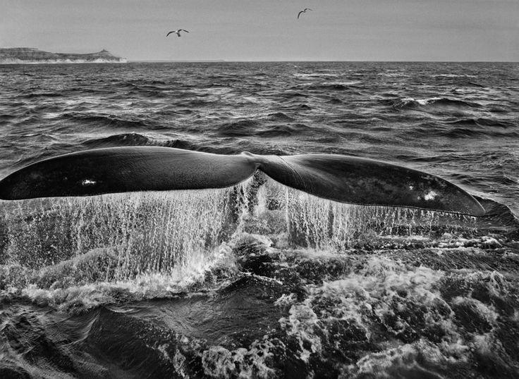 sebastiao salgado genesis whale Sebastião Salgado Genesis reportage
