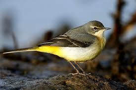 grey wagtail profile