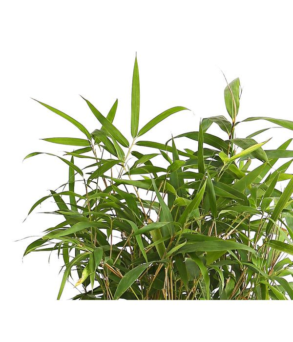 Breitblatt Bambus Dehner In 2020 Bambus Pflanzen Pflanzen Bambus