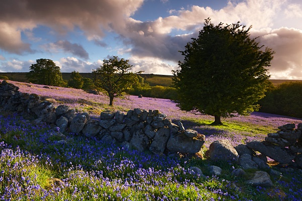 Dartmoor bluebells, Devon, England, UK.