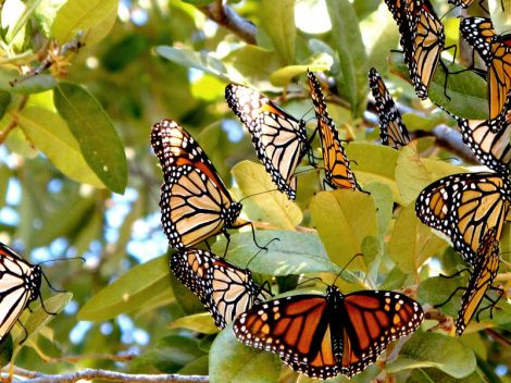 Extreme weather and GMO crops devastate monarch butterfly migration. Grist.org