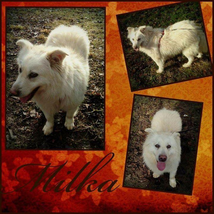 Auch Milka ist gut auf ihrer tollen Pflegestelle in Frankfurt angekommen. Sie sucht von  dort aus jetzt ihr zu Haus  Milka ist eine super liebe 35 Jahre alte Hündin. Sie hat eine Schulterhöhe von 47 cm. Milka ist eine sehr ruhige unkomplizierte und verschmuste Maus. Milka ist verträglich mit ihren Artgenossen und mit Katzen. Fremden begegnet sie vorsichtig aber freundlich. An der Leine läuft sie gut. Milka ist kastriert gechipt und geimpft und wird nur nach VK und mit Schutzvertrag…
