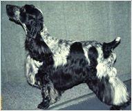 The English Cocker Spaniel Dog Breed