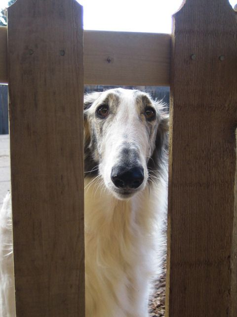 17 Best Images About Borzoi On Pinterest Adoption Dog Wallpaper And Amazing Dogs