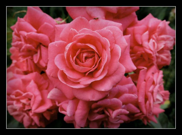 https://flic.kr/p/Kfqb28 | Friday's Flower Power | Rosenstämmchen Rose 'Palace'