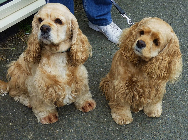 American cocker spaniel puppies - photo#7