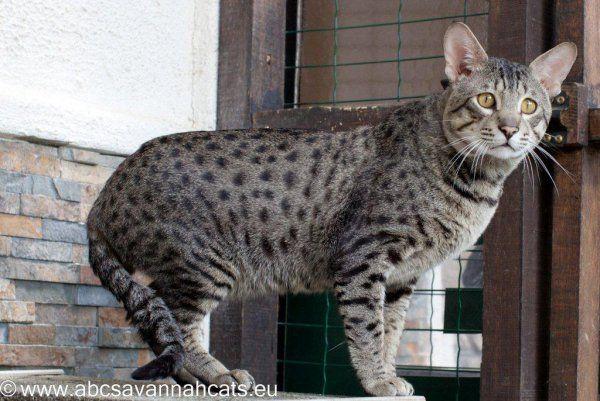 Photo chat de race Savannah, Garou - Eleveurs-Online.com
