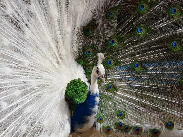 Half-Albino Peacock - Imgur