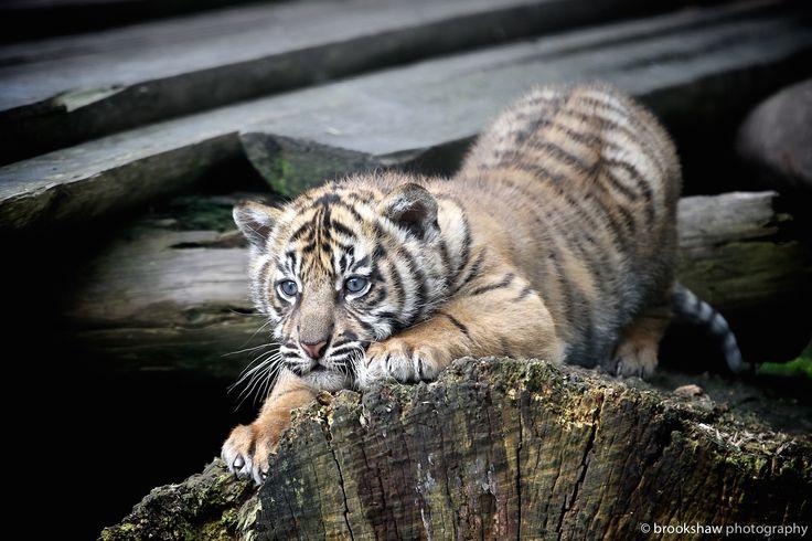 Sumatran Tiger Cub by Gary Brookshaw on 500px