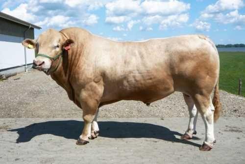 Aufbau einer Mutterkuhherde der Fleischrasse Blond Aquitaine