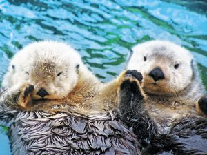 sea otter love - they hold hands so they don't drift apart. I love sea otters!