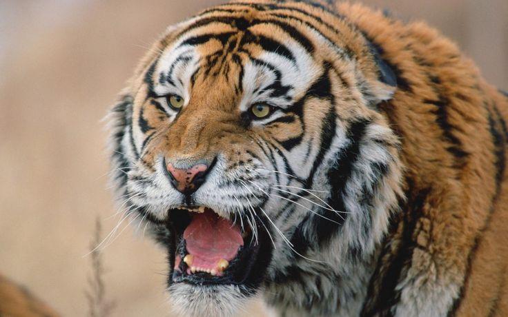 El Tigre de Bengala (Panthera tigris tigris) | La población en estado salvaje varía de 3.000 a 5.000 ejemplares. Su hábitat natural son los densos bosques,  manglares,  sabanas,  aunque en en lugares como Bangladesh  y  Birmania viven principalmente en reservas (santuarios) donde son venerados.