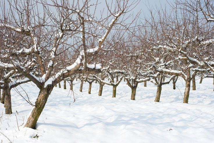 How To Prune Your Fruit Trees  By Brian Barth on February 10, 2015 A simple way to prune your fruit trees during the winter.