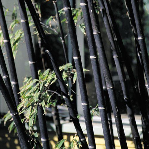 200+ Fresh Black Bamboo Seeds with Instructions - Phyllostachys Nigra (Hardy) Only $9,99