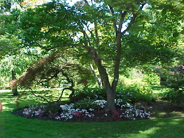 Best trees to plant in your yard for shade free shade for Canopy of trees