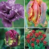 Parrot Tulip Collection