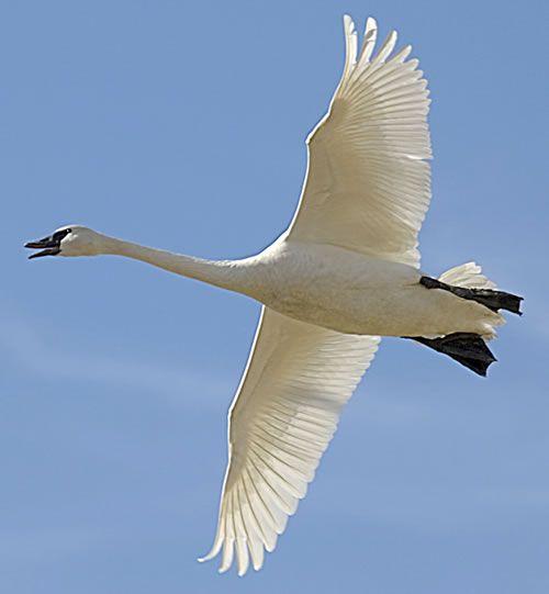 Trumpeter Swan | Trumpeter Swan Photos