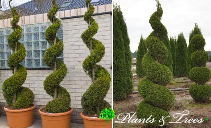 An impressive topiary spiral 140/150 cm high shaped from Thuja occidentalis (Yellow Cedar, Atlantic White Cedar).