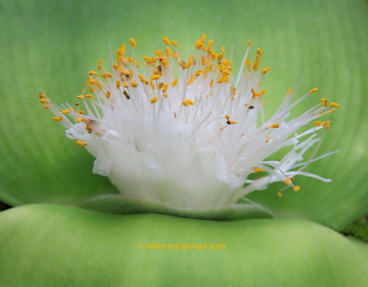 View picture of Haemanthus (Haemanthus deformis) at Dave's Garden.  All pictures are contributed by our community.