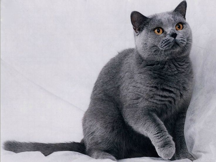 Blue British Shorthair cat , will be my next cat , fucking