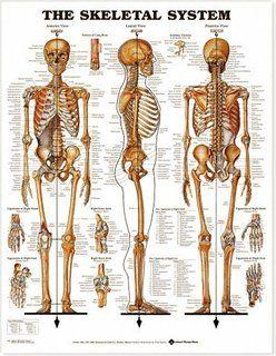 human anatomy diagram. human skeleton anatomy model interative, Skeleton