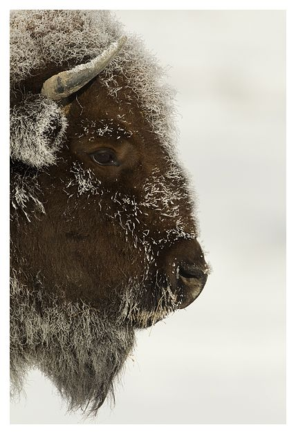 Bison, I think are awesome. And cute. Lol. I even have a stuffed animal bison from Yellowstone national park. Lol.
