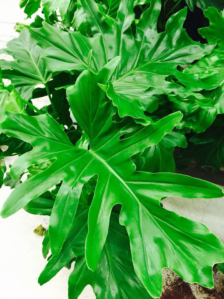 79 besten green philodendron bilder auf pinterest for Dekor von zierpflanzen