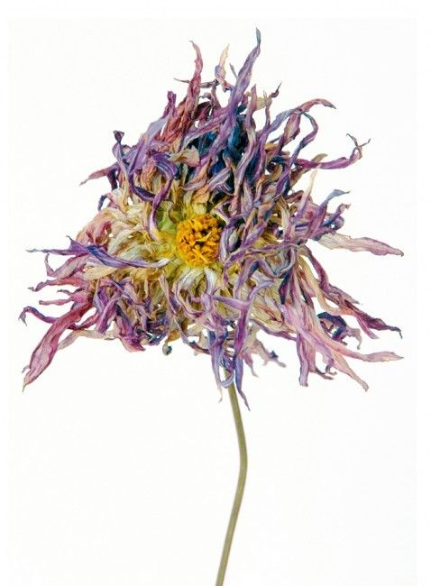 French artist Rachel Lévy photographs flowers that are past their prime: wilting, fading and revealing visible signs of decay. Nonetheless, captured in the last fleeting moments before perishing, they are strikingly beautiful.