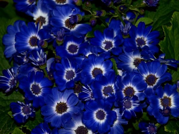 Blue Flowers 46 Picture Image Or Photo