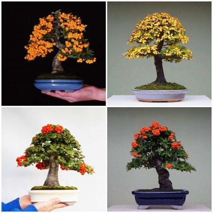 bonsai baum zchten acer palmatum bonsai tree walter pall bonsai photo bonsai workshop hamburg. Black Bedroom Furniture Sets. Home Design Ideas