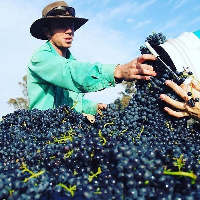 """""""And we are off!"""" Harvest 2016 officially kicked off this week at @fourwindsvineyard as they picked the Shiraz grapes for their delicious Rosé. Did you know the Four Winds team make eight styles of wine (including a fortified Shiraz) at this 33-acre vineyard? #visitcanberra"""
