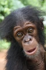 Several months ago, we received a tiny chimp who was confiscated from a woman trying to sell her as a pet. Just a few months old, weighing 2.5kg and still suckling, the baby girl had only recently been removed from her mother but had been amongst humans long enough to contract pneumonia – an illness that is often fatal in small babies. Read more about Ayisha's fight for life: http://apeactionafrica.org/_site/preview_newsletter.php?pid=34