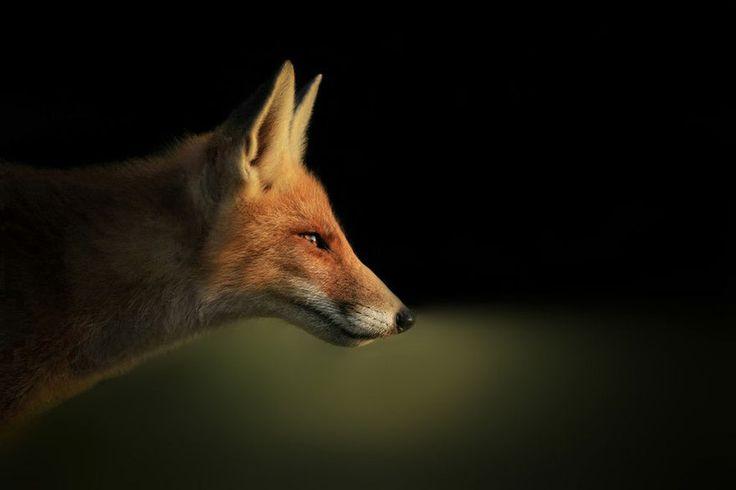 O holandês Joke Hulst registra raposas em seu habitat natural - Foto: Joke Hulst