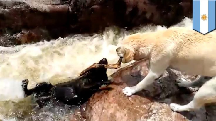 Epic dog rescue: video appears to show yellow lab rescue his pal from ra...