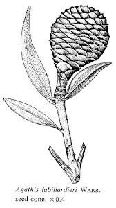 Image result for kauri tree seed