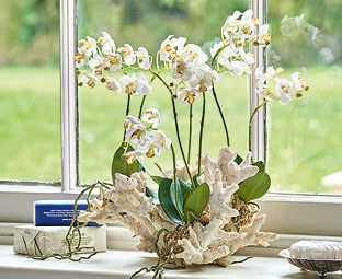 Large Moth Orchid in Coral