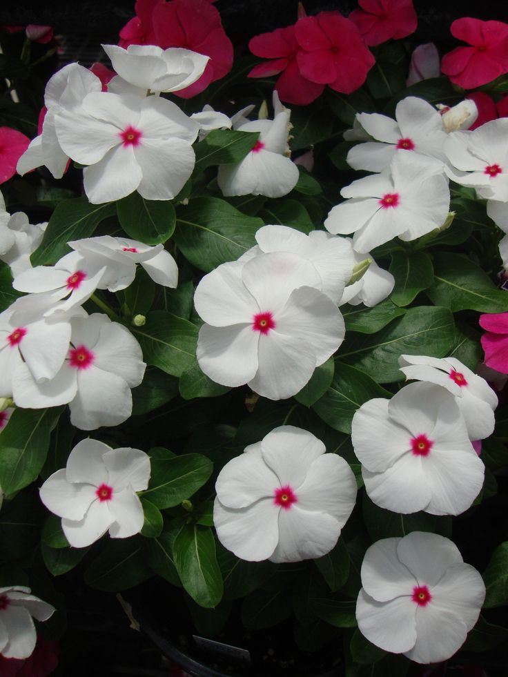 Vinca (Catharanthus roseus) 'Pacifica Polka Dot' - These are a strong breed! Don't plant with petunias - because they will take over the planter!