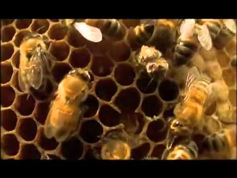 Great information video on Bees- PBS  Goes along to support info learned in story Busy Buzzy Bee from harcourt