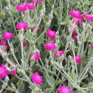 10 best ideas about Garden lychnis coronaria rose campion ...