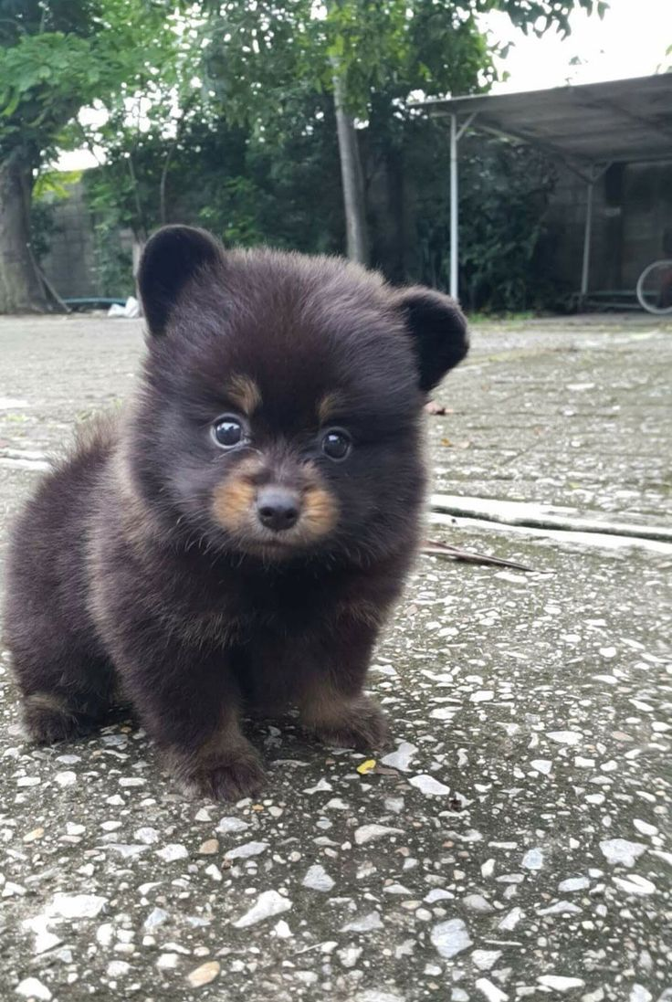 Meet Kuma, friend's new overly cute Pomeranian puppy